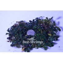 Bucephalandra Brownie Red